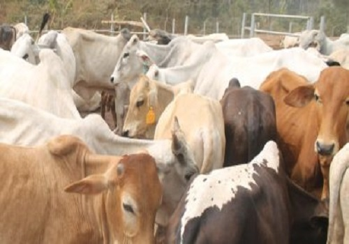 about-cattle